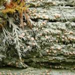 Icmadophila ericetorum, Hälsingland 2002. Foto: Måns Svensson